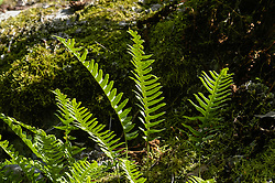 Gewone eikvaren, Polypodium vulgare