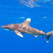 Oceanic Whitetip shark (Carcharhinus longimanus) juvenile, Cat Island, Bahamas.