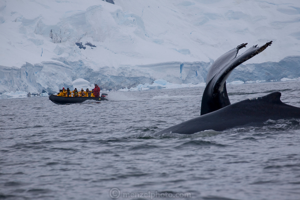 A humpback whale plunges into the ice cold waters of Wilhelmina Bay in the Antarctic Peninsula, near a Zodiac boat that was part of an adventure tourism team from the Scandinavian-built ice-breaker Akademik Sergey Vavilov. The ice-breaker was originally built for the Russian Academy of Science and still used occasionally by scientists, is now predominantly used for adventure touring in both the Arctic and the Antarctic. The ship is currently operated by a Russian crew, and staffed with employees of the adventure touring company Quark Expeditions, and carries around 100 passengers at a time.