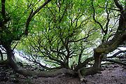 Tree, South Point, The Big Island of Hawaii