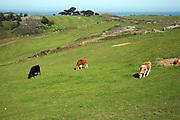 Cattle graze in field Island of Herm, Channel Islands, Great Britain