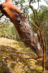 Madrona (Arbutus menziesii) Tree, Jones Island State Park, San Juan Islands, Washington, US