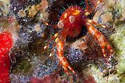 endemic species of squat lobster, Babamunida debrae, discovered in 2010, Kaloko, Kona Coast, Big Island, Hawaii, U.S.A. ( Central Pacific Ocean )