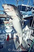 tiger shark, Galeocerdo cuvier, killed by sport fishermen on a charter fishing boat and hung up for display, riddled with bullet holes; only the jaws were kept as a trophy, Marathon, Florida Keys, Florida, USA