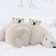 Polar Bear mother and cubs. Hudson Bay, Manitoba, Canada