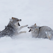 Two adult coyotes (Canis latrans) fighting during spring mating season. Yellowstone National Park, Wyoming