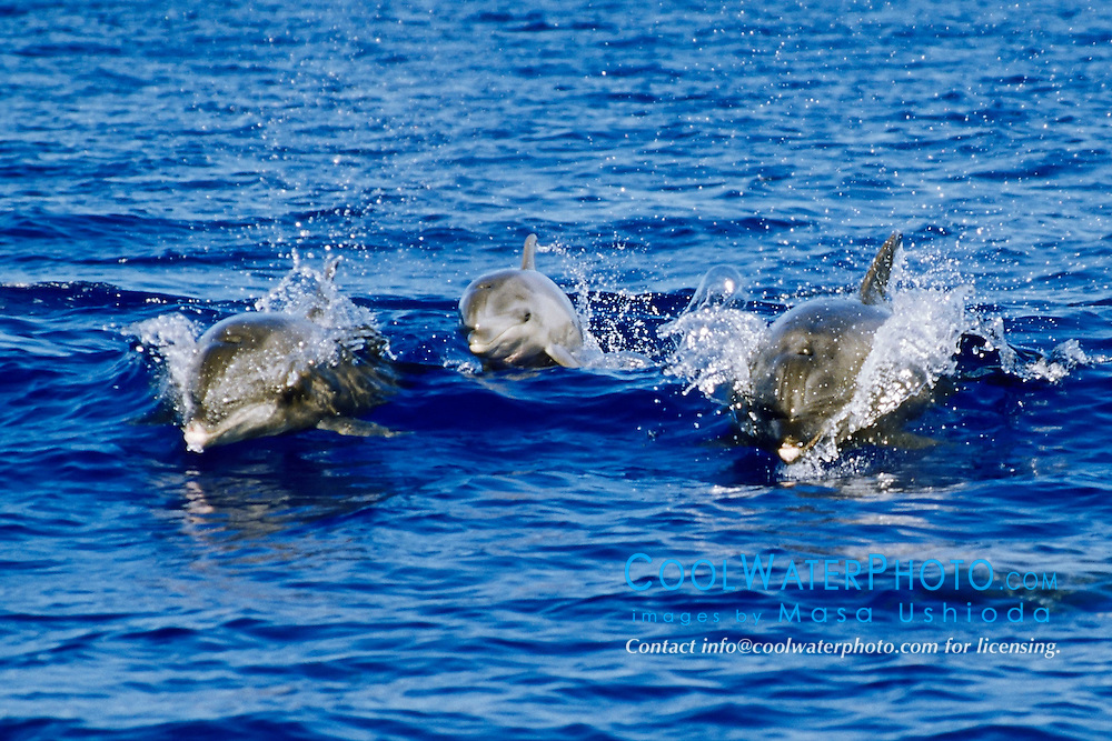 wild bottlenose dolphins, wake-riding, Tursiops truncatus, two adults and calf in middle, off Kona Coast, Big Island, Hawaii, Pacific Ocean