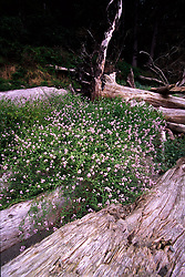 Beach Wildflowers on Driftwood near Sand Point, Olympic National Park, Washington, US