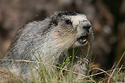 Hoary Marmot, Marmota calligata, closeup, whistling, in grass, summer, tundra, shrill whistle when alarmed, inhabits rocky alpine slopes; hibernates in winter, Denali National Park, Alaska, ©Craig Brandt, all rights reserved; brandt@mtaonline.net