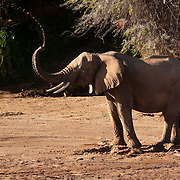 African Elephant (Loxodanta africana) adult standing in a riverbed trying to obtain water in Samburu Game Reserve. Kenya, Africa.