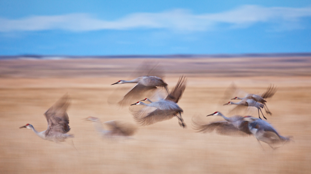 After a full day of foraging, graceful sandhills take wing back to the lakes where they spend each night. The snow capped Sangre de Cristos can be seen the background.