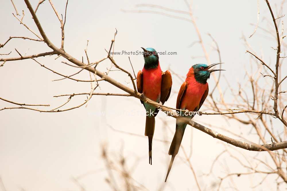 Two southern carmine bee-eaters perched on a branch. The southern carmine bee-eater (Merops nubicoides) (formerly carmine bee-eater) occurs across sub-equatorial Africa. Photographed in Namibia, Africa
