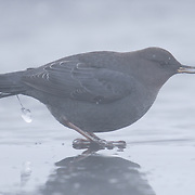 American Dipper (Cinclus mexicanus), also know as the water ouzel, feeding along a small river in Yellowstone National Park in temperatures of -32 fahrenheit. Steam from the river obscures a clear view and a chunk of ice hangs from the diminutive bird's tail. Wyoming