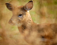 Young Doe. Image taken with a Fuji X-T2 camera and 100-400 mm OIS lens (ISO 640, 400 mm, f/5.6, 1/1000 sec).