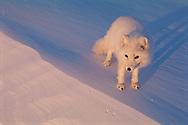 Arctic Fox, Alopes lagopus, Ellesmere Island, Nunavut, Canada, Arctic