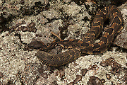 Timber Rattlesnake (Crotalus horridus) - Black morph<br /> MANIPULATED<br /> near hibernation den<br /> Northern Georgia<br /> USA<br /> HABITAT & RANGE: Deciduous forests in rugged terrain and open, rocky ledges. Eastern USA