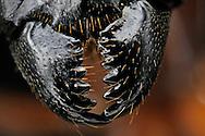 DEU, Deutschland: Rossameise oder Riesenameise (Camponotus fellah), Herkunft: Israel, geoeffnete Mandibeln, Freiburg, Baden-Wuerttemberg | DEU, Germany: Carpenter ant (Camponotus fellah), origin: Israel, open mandibles, Freiburg, Baden-Wurttemberg |