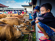 06 AUGUST 2017 - MENGWI, BALI, INDONESIA: A boy looks at some of the Bali cows for sale in the Bringkit Market in Mengwi, about 30 minutes from Denpasar. Bringkit Market is famous on Bali for its Sunday livestock and poultry market. Hundreds of the small Bali cows are bought and sold there every week. Bali's local markets are open on an every three day rotating schedule because venders travel from town to town. Before modern refrigeration and convenience stores became common place on Bali, markets were thriving community gatherings. Fewer people shop at markets now as more and more consumers go to convenience stores and more families have refrigerators.     PHOTO BY JACK KURTZ
