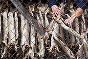 A man pulls stockfish from drying racks in Å, Lofoten Islands, Norway.