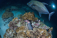 With a large Black Jack and diver looking on, a Whitetip Reef Shark has located its dinner, and is an instant away from capturing it.<br /> <br /> <br /> Shot at Cocos Island, Costa Rica