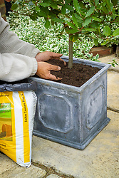 Top dressing a container grown standard bay tree with new compost mixed with slow-release fertilizer