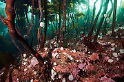 A thick carpet of kelp covers the rocky reef in Browning Passage, located in Browning Passage, Vancouver Island, British Columbia, Canada.