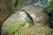 A Black-Crowned Night-Heron fishes in the clean waters of Shiding, Taiwan.