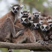 Ring-tailed lemur (Lemur catta) family. Berenty Reserve, Madagascar