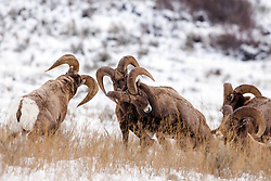 """Bighorn Ram threesome, ramming rams demonstrating """"Ram Tough"""" in Jackson Hole Wyoming. About every other year we can find bighorn sheep fighting on the National Elk Refuge in Jackson Hole Wyoming."""