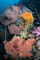 Colorful Hard and Soft Corals cover every square inch of the reef<br /> <br /> Shot in Indonesia