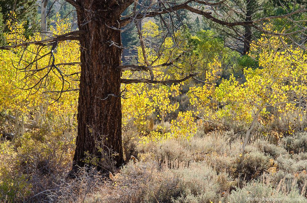 Autumn quaking aspen (Populus tremuloides), fall, Toiyabe National Forest, California