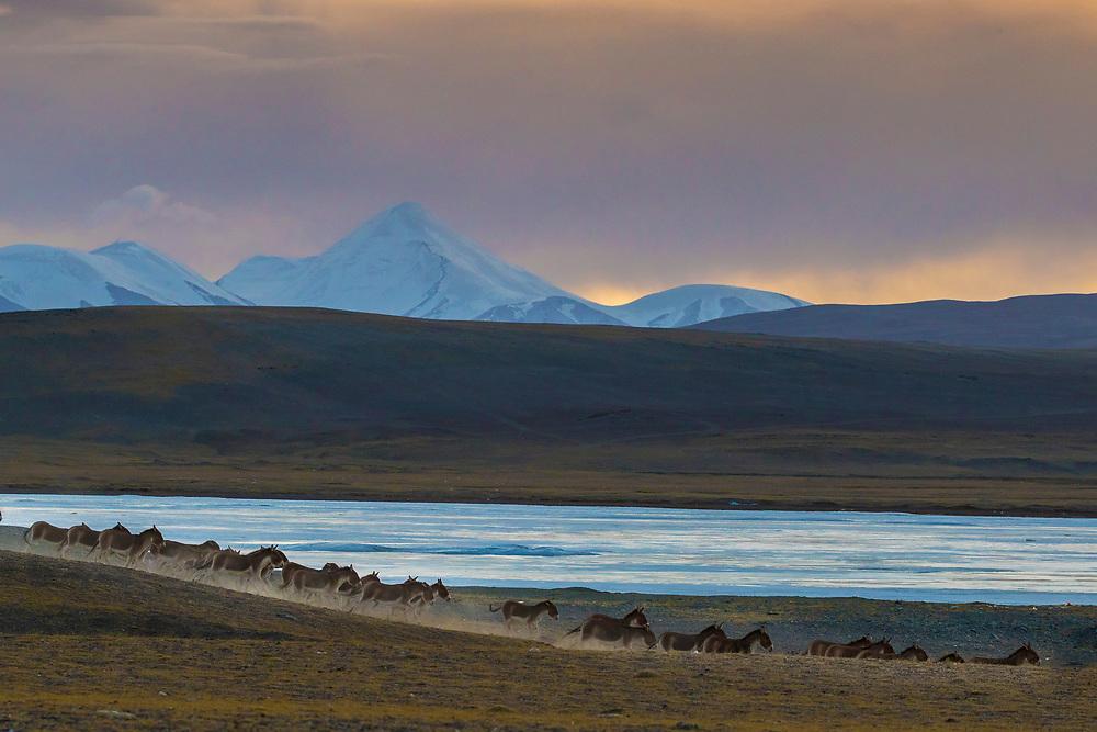Herd of wild Kiang, Equus kiang, Tibetan Plateau, Yushu, Haixi, Qinghai, China