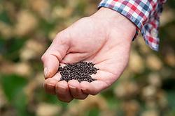 Collecting seed of Smyrnium perfoliatum