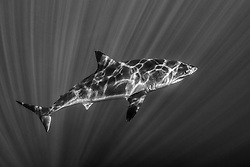A Great White Shark, Carcharcarodon carcharius, is illuminated by dancing sunbeams in clear, open water. Guadalupe Island; Mexico; Pacific Ocean