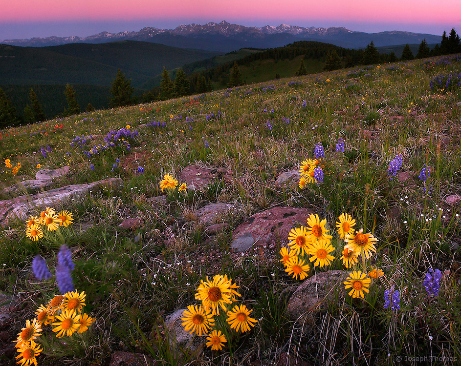 Alpine sunflowers welcome first light. Earth shadow (blue) and the anti-twilight arc (pink) can be seen at the distant horizon.