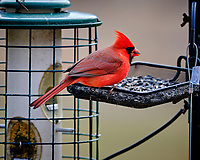 Northern Cardinal at a bird feeder. Image taken with a Fuji X-T3 camera and 200 mm f/2 lens and 1.4x teleconverter (ISO 320, 280 mm, f/2.8, 1/500 sec).