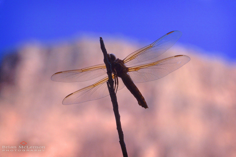 Dragonfly in silhouette, Grand Canyon, Arizona. Close-up photography by Portland Oregon photographer Brian McLernon www.brianmclernon.com 503 768-9878