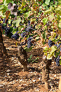 pinot noir sandy gravelly soil dom m juillot mercurey burgundy france