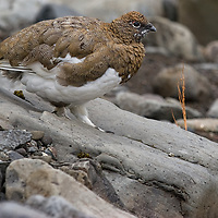 """On our way to Svartifoss we saw this chicken-like bird. The """"Icelandic Rock Ptarmigan"""" flies very clumsily."""