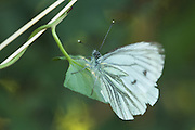 Green-veined white butterfly (Pieris napi; unless someone knows better). Not a good year for butterflies this year in the UK, due to the amount of rain.