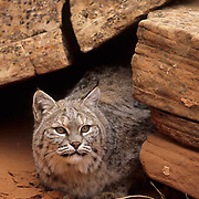 Bobcat (Lynx rufus) in the red rock country of northern Arizona.  Captive Animal.