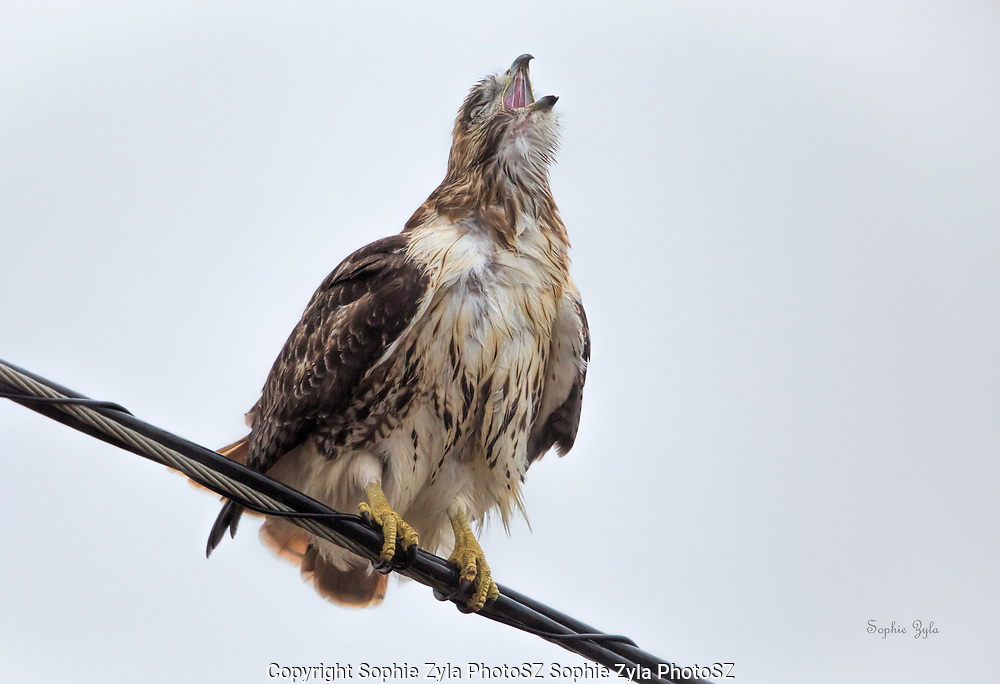 Red-tailed Hawk Shout-out