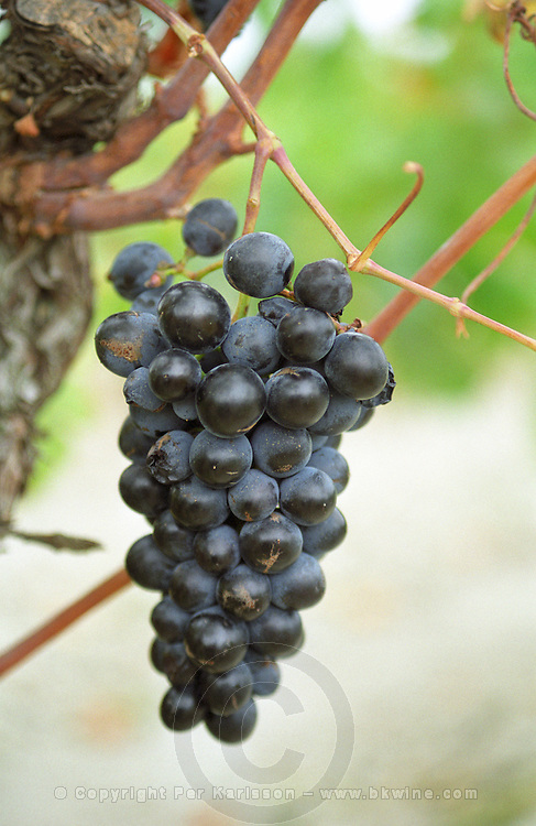 A ripe bunch of grapes in the vineyard of Chateau Etang des Colombes, Corbières, Languedoc, Aude, Languedoc-Roussillon, France