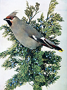 The Bohemian waxwing (Bombycilla garrulus syn Ampelis garrulus) is a starling-sized passerine bird that breeds in the northern forests of the Palearctic and North America. It has mainly buff-grey plumage, black face markings and a pointed crest. Its wings are patterned with white and bright yellow, and some feather tips have the red waxy appearance that give this species its English name. From Birds : illustrated by color photography : a monthly serial. Knowledge of Bird-life Vol 1 No 4 April 1897