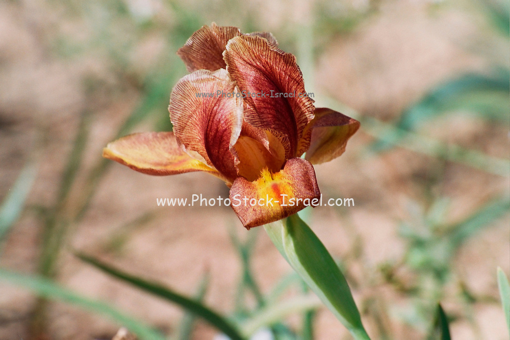 Israel, Negev near Yeruham, Yellow, brown Iris petrana, Petra Iris, Yeruham Iris in natural habitat