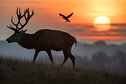 © Licensed to London News Pictures. 04/01/2019. London, UK. Deer stag grazing at sunrise in Richmond Park, West London on a cold winter morning, as temperatures across the UK drop dramatically. Large parts of the UK are expecting heavy snowfall in the early parts of 2019 following unusually mild temperatures for most of the winter. Photo credit: Ben Cawthra/LNP