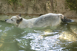 Canadian White Wolf, Los Angeles Zoo