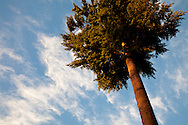 iconic fir tree against sky