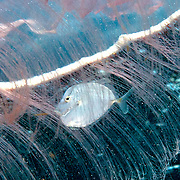 Lookdown juveniles inhabit open water often within the protective tentacles of jellyfish, in Tropical West Atlantic; picture taken Key Largo.