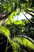 Alexandra Palms, Hawaii Tropical Botanical Garden, Onemea, Hamakua coast, Island of Hawaii